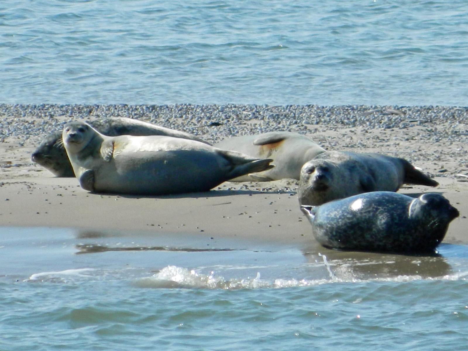 Langeoog Seehund